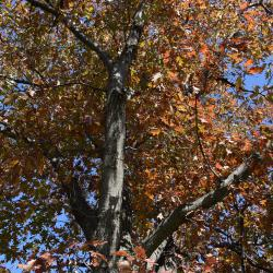 Quercus xbebbiana (Bebb's oak), bark detail