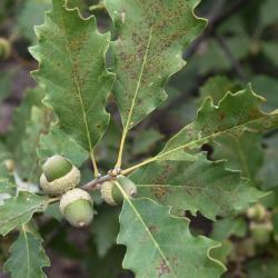 Quercus variabilis (Oriental Oak), bark, mature