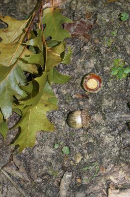 Quercus rubra (Northern Red Oak), fruit, mature