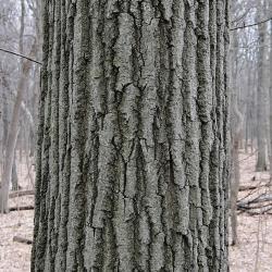 Quercus rubra (Northern Red Oak), leaf, fall