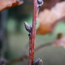 Quercus stellata (Post Oak), habit, fall