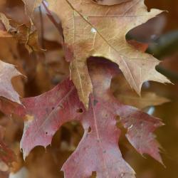 Quercus variabilis (Oriental Oak), leaf, new