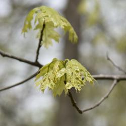 Quercus acutissima (sawtooth oak), acorn cap