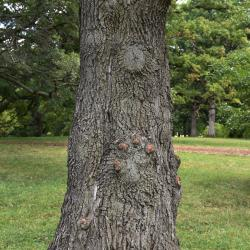 Quercus variabilis (Oriental Oak), habit, fall