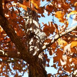 Quercus stellata (Post Oak), leaf, lower surface