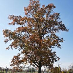 Quercus xbebbiana (Bebb's oak), habit, summer