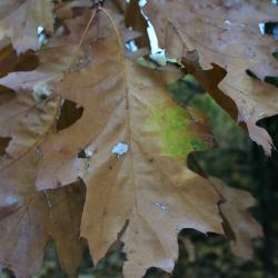 Quercus ×jackiana (Jack's oak), two tall trees