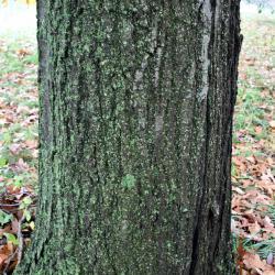Quercus stellata (Post Oak), bark, trunk