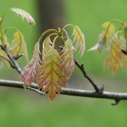 Quercus acerifolia (maple-leaved oak), leaves