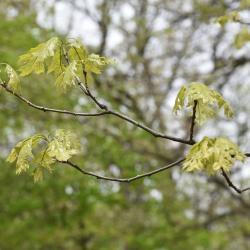 Quercus acutissima (sawtooth oak), leaves