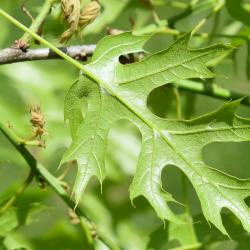 Quercus variabilis (Oriental Oak), leaf, spring