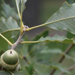 Quercus stellata (Post Oak), leaf, upper surface