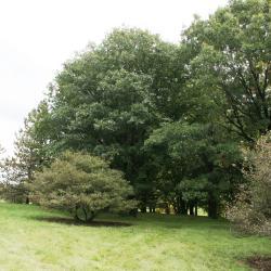 Quercus stellata (Post Oak), leaf, fall