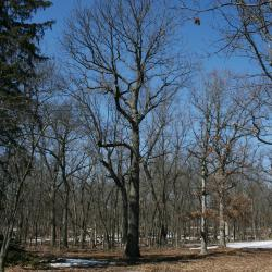 Quercus rubra (Northern Red Oak), leaf, summer