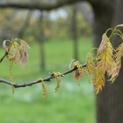 Quercus ×jackiana (Jack's oak), habit, summer