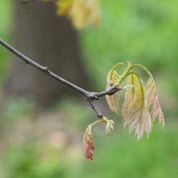 Quercus rubra (Northern Red Oak), leaf, lower surface