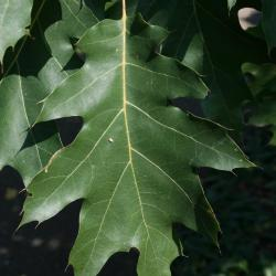 Quercus alba (white oak), habit, late fall