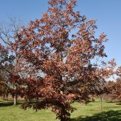 Quercus stellata (Post Oak), leaf, summer