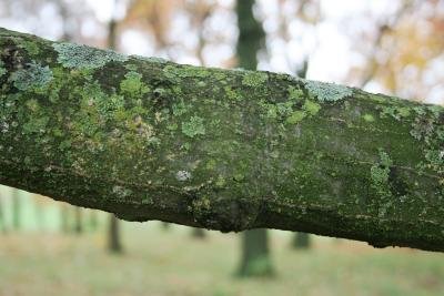 Quercus rubra var. borealis (Northern Red Oak), bark, branch