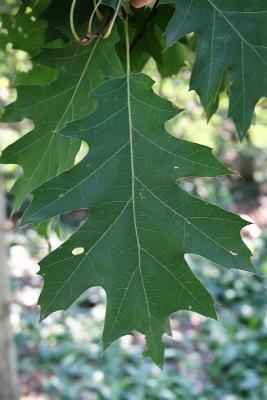 Quercus rubra (Northern Red Oak), leaf, upper surface