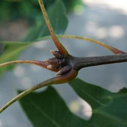 Quercus rubra (Northern Red Oak), leaf, new