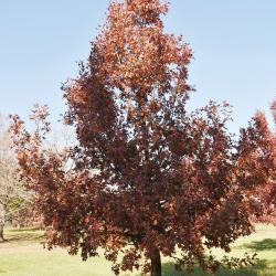 Quercus variabilis (Oriental Oak), inflorescence