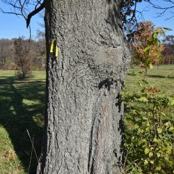 Quercus ×jackiana (Vallonea Oak), leaf, upper surface