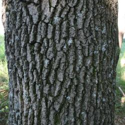 Quercus velutina (Black Oak), bud, vegetative