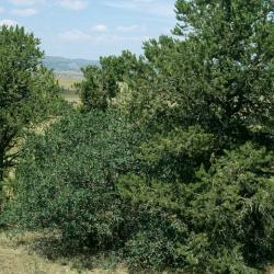Quercus velutina (Black Oak), bark, twig