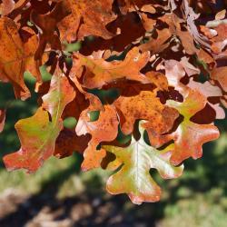 Quercus trojana (Macedonian Oak), habit, summer