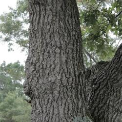Quercus velutina (Black Oak), flower, pistillate