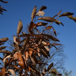 Quercus x bebbiana 'Taco' (Taco Bebb's Oak), inflorescence
