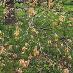 Quercus ×undulata (Wavy-leaved Oak), leaf, summer
