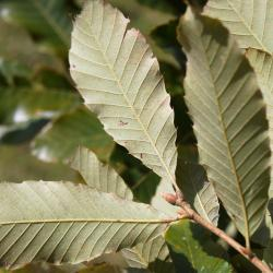 Quercus velutina (Black Oak), bud, terminal