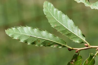 Quercus trojana (Macedonian Oak), leaf, lower surface
