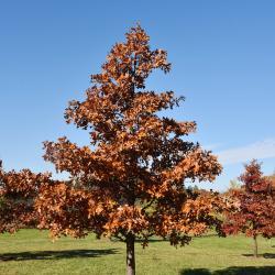 Quercus texana (Nuttall's Oak), flower, staminate