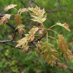 Quercus variabilis (Oriental Oak), leaf, fall