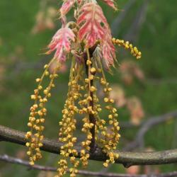 Quercus variabilis (Oriental Oak), bark, twig