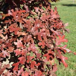 Quercus texana (Nuttall's Oak), leaf, new