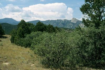 Quercus ×undulata (Wavy-leaved Oak), habitat