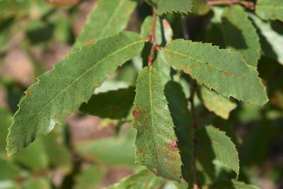 Quercus trojana (Macedonian Oak), leaf, summer