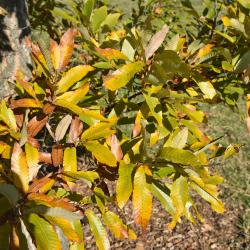 Quercus ×bebbiana 'Taco' (Taco Bebb's Oak), habit, fall