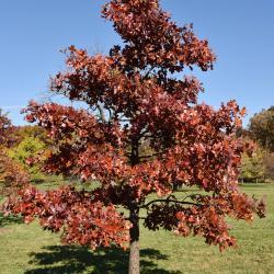 Quercus texana (Nuttall's Oak), bark, mature