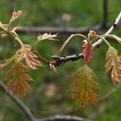 Quercus variabilis (Oriental Oak), leaf, lower surface