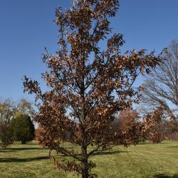 Quercus x bebbiana 'Taco' (Taco Bebb's Oak), flower, staminate