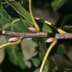 Quercus velutina (Black Oak), fruit, immature