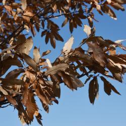 Quercus x bebbiana 'Taco' (Taco Bebb's Oak), habit, spring