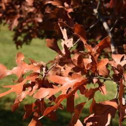 Quercus texana (Nuttall's Oak), inflorescence