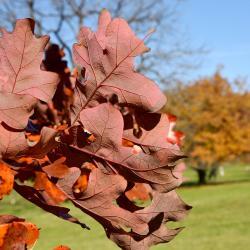 Quercus trojana (Macedonian Oak), leaf, upper surface