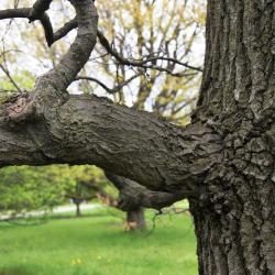 Quercus turbinella (Shrub Live Oak), leaf, summer